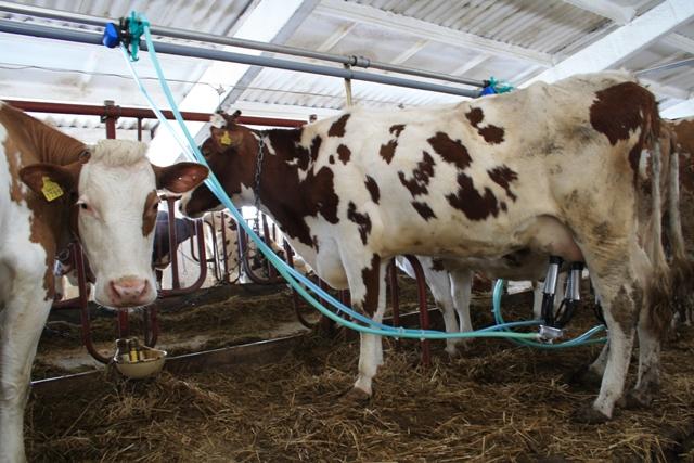 Корова дойка завод молоко
